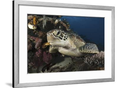A Green Turtle Resting on a Reef Top in Komodo National Park, Indonesia-Stocktrek Images-Framed Photographic Print