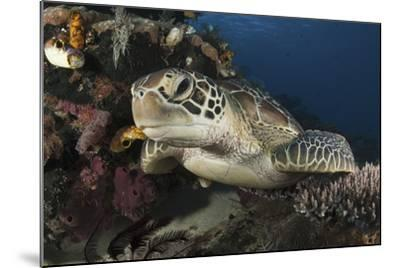 A Green Turtle Resting on a Reef Top in Komodo National Park, Indonesia-Stocktrek Images-Mounted Photographic Print