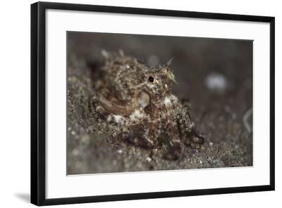 A Young Day Octopus on Black Volcanic Sand-Stocktrek Images-Framed Photographic Print
