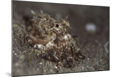 A Young Day Octopus on Black Volcanic Sand-Stocktrek Images-Mounted Photographic Print