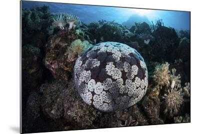 A Pin Cushion Starfish Clings to a Coral Reef-Stocktrek Images-Mounted Photographic Print