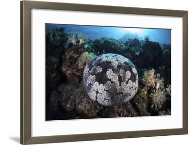 A Pin Cushion Starfish Clings to a Coral Reef-Stocktrek Images-Framed Photographic Print