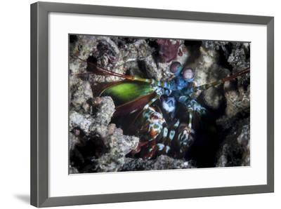 A Peacock Mantis Shrimp in Lembeh Strait, Indonesia-Stocktrek Images-Framed Photographic Print