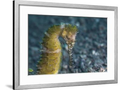 A Thorny Seahorse on the Seafloor of Lembeh Strait-Stocktrek Images-Framed Photographic Print