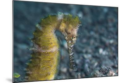 A Thorny Seahorse on the Seafloor of Lembeh Strait-Stocktrek Images-Mounted Photographic Print