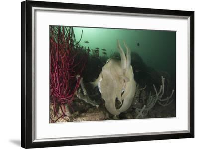 Full Body View of a Broadclub Cuttlefish Amongst a Reef-Stocktrek Images-Framed Photographic Print