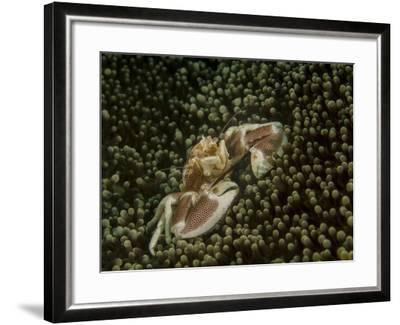 Porcelain Crab in Anemone, Lembeh Strait, Indonesia-Stocktrek Images-Framed Photographic Print