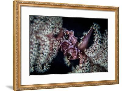 A Tiny Crab Clings to a Sea Pen on a Reef-Stocktrek Images-Framed Photographic Print
