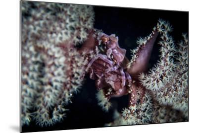 A Tiny Crab Clings to a Sea Pen on a Reef-Stocktrek Images-Mounted Photographic Print