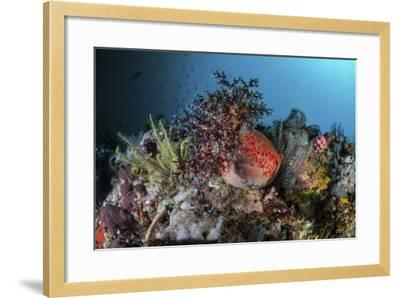 A Colorful Sea Apple Clings to a Reef in Indonesia-Stocktrek Images-Framed Photographic Print