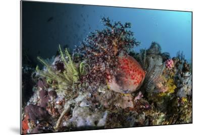 A Colorful Sea Apple Clings to a Reef in Indonesia-Stocktrek Images-Mounted Photographic Print