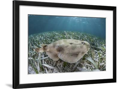 An Electric Ray on the Seafloor of Turneffe Atoll Off the Coast of Belize-Stocktrek Images-Framed Photographic Print