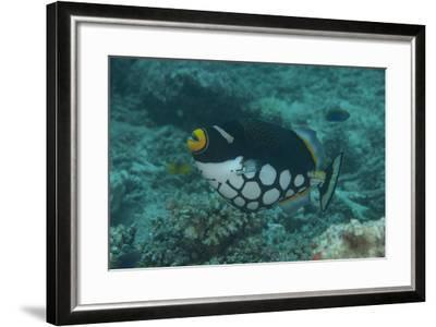 Clown Triggerfish Swimming in Fiji-Stocktrek Images-Framed Photographic Print