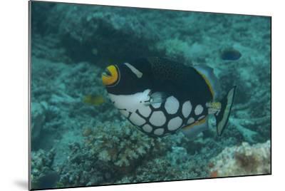 Clown Triggerfish Swimming in Fiji-Stocktrek Images-Mounted Photographic Print