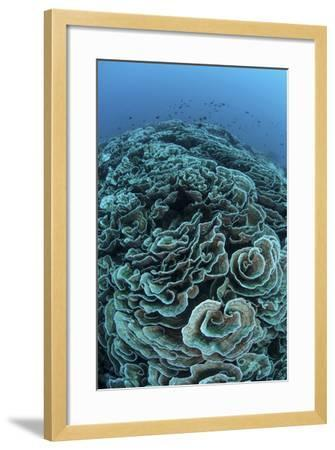 Corals are Beginning to Bleach on a Reef in Indonesia-Stocktrek Images-Framed Photographic Print