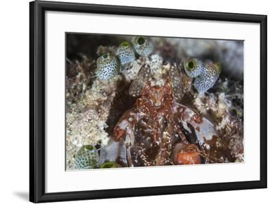 A Mantis Shrimp Peers Out of its Lair on a Reef in Indonesia-Stocktrek Images-Framed Photographic Print