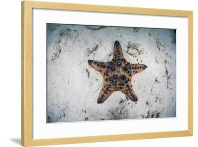 A Colorful Chocolate Chip Sea Star on the Seafloor of Indonesia-Stocktrek Images-Framed Photographic Print