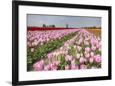 Multicolored Tulip Fields Frame the Windmill in Spring, Netherlands-Roberto Moiola-Framed Photographic Print