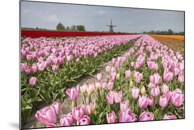 Multicolored Tulip Fields Frame the Windmill in Spring, Netherlands-Roberto Moiola-Mounted Photographic Print