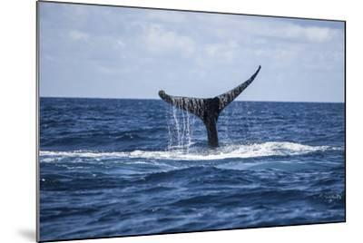 A Humpback Whale Raises its Tail as it Dives into the Atlantic Ocean-Stocktrek Images-Mounted Photographic Print