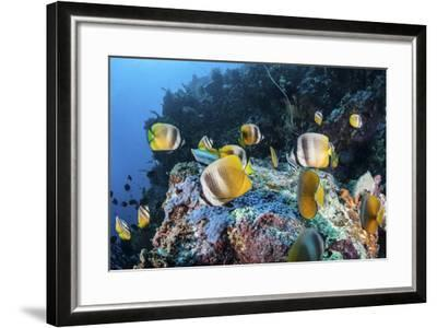 Klein's Butterflyfish Swim over a Reef Near Sulawesi, Indonesia-Stocktrek Images-Framed Photographic Print