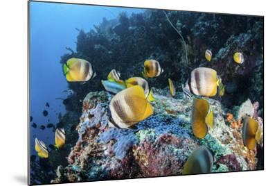 Klein's Butterflyfish Swim over a Reef Near Sulawesi, Indonesia-Stocktrek Images-Mounted Photographic Print