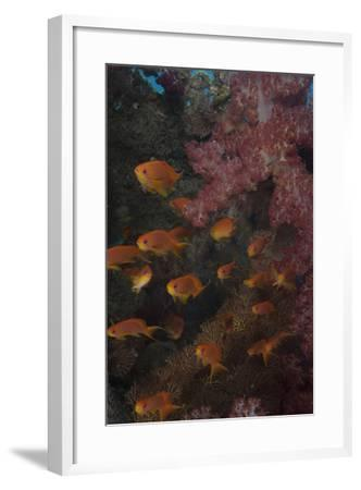 Scalefin Anthias Fish in Beqa Lagoon, Fiji-Stocktrek Images-Framed Photographic Print