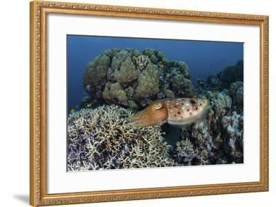 A Cuttlefish Lays Eggs in a Fire Coral on a Reef in the Solomon Islands-Stocktrek Images-Framed Photographic Print