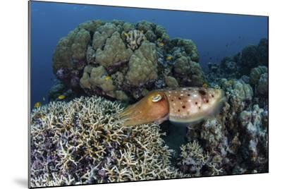 A Cuttlefish Lays Eggs in a Fire Coral on a Reef in the Solomon Islands-Stocktrek Images-Mounted Photographic Print