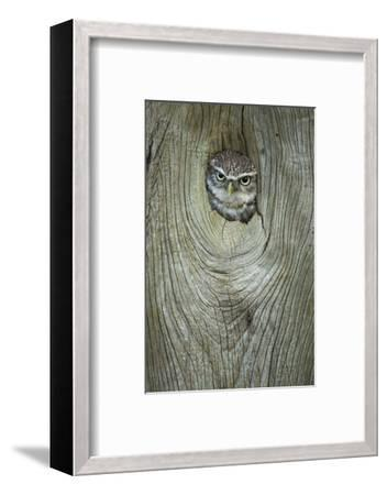 Little Owl (Athene Noctua), in Captivity, Gloucestershire, England, United Kingdom, Europe-Kevin Morgans-Framed Photographic Print