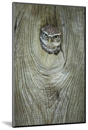 Little Owl (Athene Noctua), in Captivity, Gloucestershire, England, United Kingdom, Europe-Kevin Morgans-Mounted Photographic Print