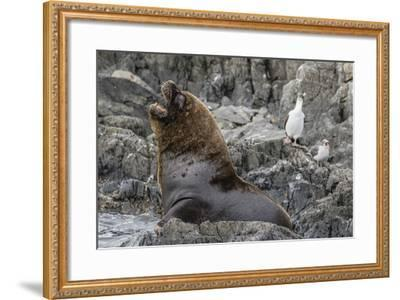 South American Sea Lion Bull (Otaria Flavescens) at Breeding Colony Just Outside Ushuaia, Argentina-Michael Nolan-Framed Photographic Print