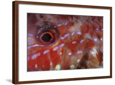 A Goatfish Shows its Nocturnal Coloration-Stocktrek Images-Framed Photographic Print