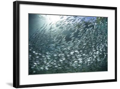 A Large School of Scad in the Solomon Islands-Stocktrek Images-Framed Photographic Print
