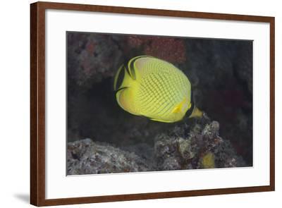Latticed Buterflyfish, Fiji-Stocktrek Images-Framed Photographic Print