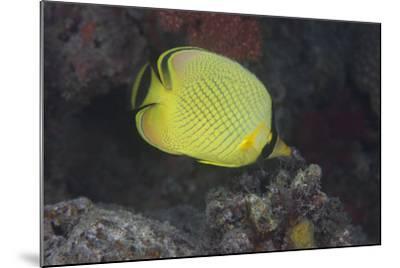 Latticed Buterflyfish, Fiji-Stocktrek Images-Mounted Photographic Print