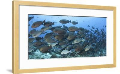 A Dense School of Yellowmask Surgeonfish, Indonesia-Stocktrek Images-Framed Photographic Print