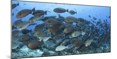A Dense School of Yellowmask Surgeonfish, Indonesia-Stocktrek Images-Mounted Photographic Print
