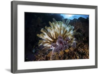 A Colorful Crinoid in Komodo National Park, Indonesia-Stocktrek Images-Framed Photographic Print