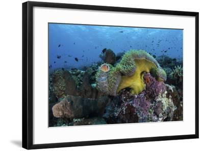 A Pink Anemonefish Swims Near its Host Anemone-Stocktrek Images-Framed Photographic Print