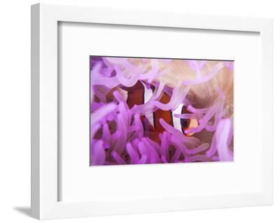 A Clark's Anemonefish Snuggles Amongst its Host's Tentacles-Stocktrek Images-Framed Photographic Print
