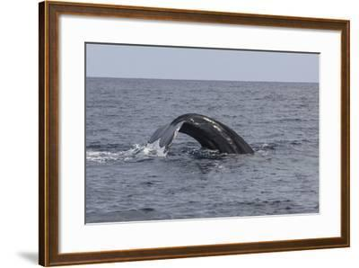 A Humpback Whale Dives in the Caribbean Sea-Stocktrek Images-Framed Photographic Print