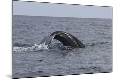 A Humpback Whale Dives in the Caribbean Sea-Stocktrek Images-Mounted Photographic Print