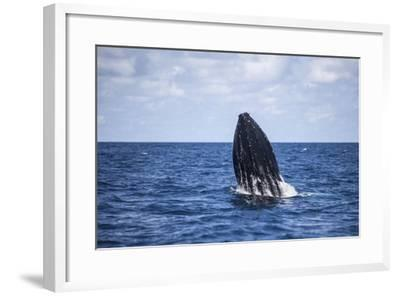 A Humpback Whale Begins to Breach Out of the Atlantic Ocean-Stocktrek Images-Framed Photographic Print