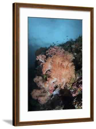 Vibrant Soft Corals Thrive on a Deep Reef in Indonesia-Stocktrek Images-Framed Photographic Print