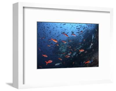 Colorful Pacific Creolefish in Deep Water Near Cocos Island, Costa Rica-Stocktrek Images-Framed Photographic Print
