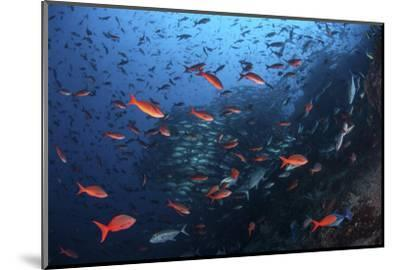 Colorful Pacific Creolefish in Deep Water Near Cocos Island, Costa Rica-Stocktrek Images-Mounted Photographic Print