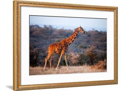 Giraffe, Kenya, East Africa, Africa-John Alexander-Framed Photographic Print