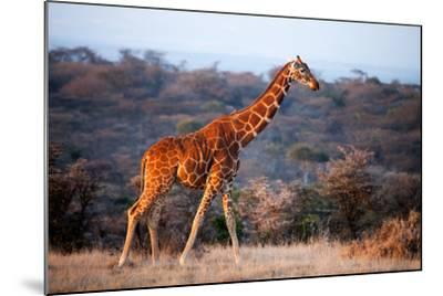 Giraffe, Kenya, East Africa, Africa-John Alexander-Mounted Photographic Print