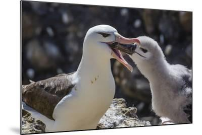 Adult Black-Browed Albatross Feeding Chick in New Island Nature Reserve, Falkland Islands-Michael Nolan-Mounted Photographic Print